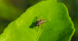 Fly on green leaf Stock Image
