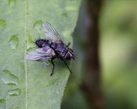 Fly on green leaf Royalty Free Stock Image