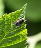 Fly on green leaf in nature. marco.  Stock Image