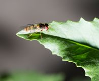 Fly on green leaf in nature. marco.  Stock Images