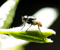Fly on a green leaf in the open air Royalty Free Stock Images