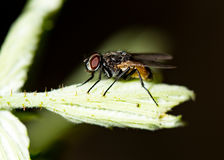 Fly on a green leaf in the open air Royalty Free Stock Image