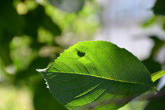 Fly on green leaf plants. A fly sits on a green leaf of the tree Stock Images