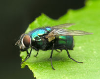 Fly  green metalic Royalty Free Stock Images