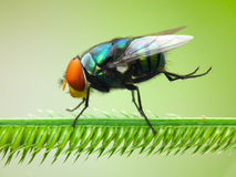 Fly in green nature Stock Photography