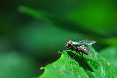 The fly. Stock Image
