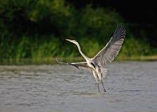 Fly grey heron Stock Photography