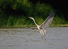 Fly grey heron Stock Photography