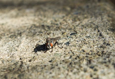 Fly on the ground Royalty Free Stock Photos