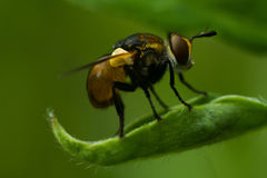 Fly - Gymnosoma clavatum. Gymnosoma clavatum is a species of tachinid flies in the genus Gymnosoma of the family Tachinidae. The tachina fly sits on a leaf and Royalty Free Stock Photos