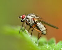 Fly on a hairy leaf Royalty Free Stock Photo