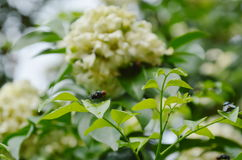 fly hanging for drying wing on orange jasmine leaf prepare to feed in day Royalty Free Stock Images