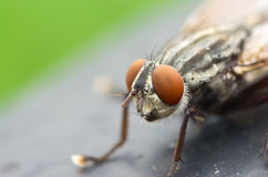 Fly head closeup Royalty Free Stock Photo