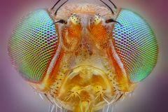 fly head taken with 25x microscope objective. Extreme sharp macro portrait of small fly head taken with 25x microscope objective stacked from many shots into Stock Photo