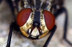Fly Head With Red Eyes Macro Close Up Stock Photos