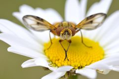 Fly on the hearth of daisy Stock Photo