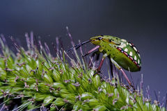 Fly   Heteroptera pentatomidae palomena Stock Photography