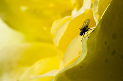 Fly Hiding in the Gentle Folds of the Delicate Yellow Rose Stock Image
