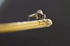 Fly hold on bamboo chopstick Stock Photo