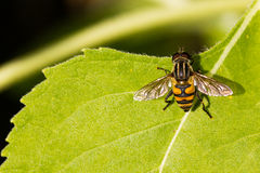 Fly hold on leaf Stock Photography