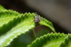 Fly holding on green leaf with close up detailed view. Stock Photography
