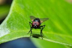 Fly holding on green leaf with close up detailed view. Stock Images