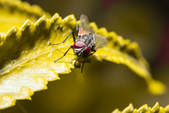 Fly holding on yellow leaf with close up detailed view. Royalty Free Stock Photography