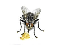 Fly home (Musca domestica) Royalty Free Stock Image