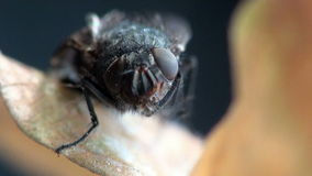 Fly housefly insect macro