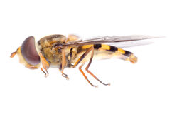 Fly hoverfly Stock Photos
