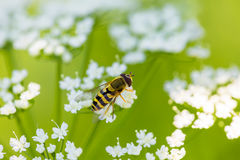 Fly hoverfly Royalty Free Stock Image