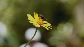 Fly Hovering Over Yellow Flower And Sucking Pollen Royalty Free Stock Photos