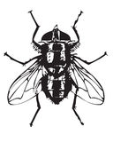 Fly illustration. Black and white illustration of a fly isolated on white Stock Photos