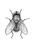 Fly illustration, engraving, drawing, ink Stock Photos
