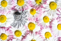 A fly with an infection on the legs sits on a daisy among white and pink field chamomiles stock photo