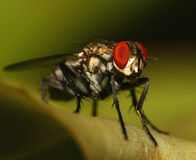 Fly insect Stock Photography