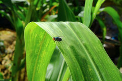 Fly insect on corn leaf Stock Image