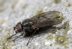 Fly Insect Macro Closeup Stock Image