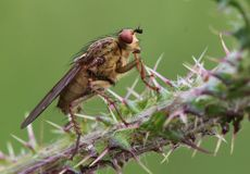 Fly, Insect, Nature, Macro, Close Royalty Free Stock Photography