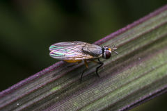 Fly insect on a plant leaf. Small fly insect on a plant leaf Royalty Free Stock Photography