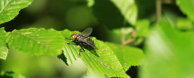 Fly insect Stock Image