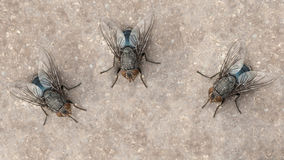Fly insect. Three flies warming up under summer sunlight Royalty Free Stock Photos