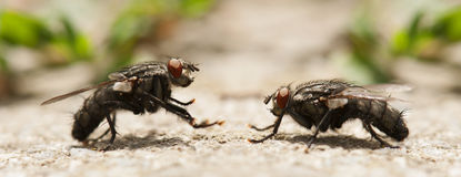Fly insect. Two flies  fighting under summer sunlight Royalty Free Stock Photography