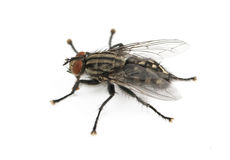 Fly is isolated Royalty Free Stock Photo