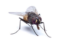 Fly isolated. Close-up uf a fly isolated on white with shadow Royalty Free Stock Photos