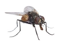 Fly isolated. Close-up uf a fly isolated on white with no shadow Royalty Free Stock Photos
