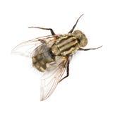 Fly isolated. Macro photo of fly isolated on white Royalty Free Stock Photo