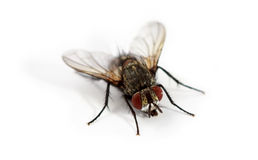 Fly isolated on white background Royalty Free Stock Photos