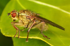 Fly on ivy leaf Royalty Free Stock Photo