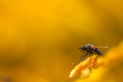 A Fly known as Housefly at yellow background Stock Photo